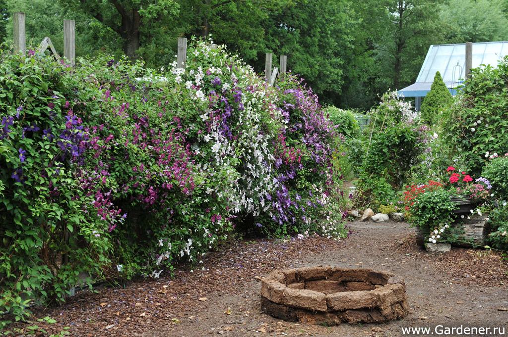 Плетистые розы в саду уход и выращивание 93