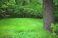 Мятлик лесной